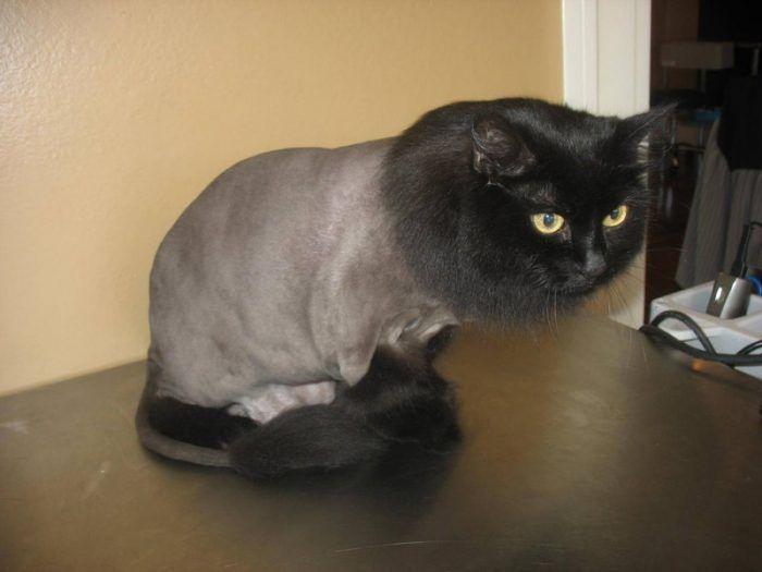 Черный кот после стрижки
