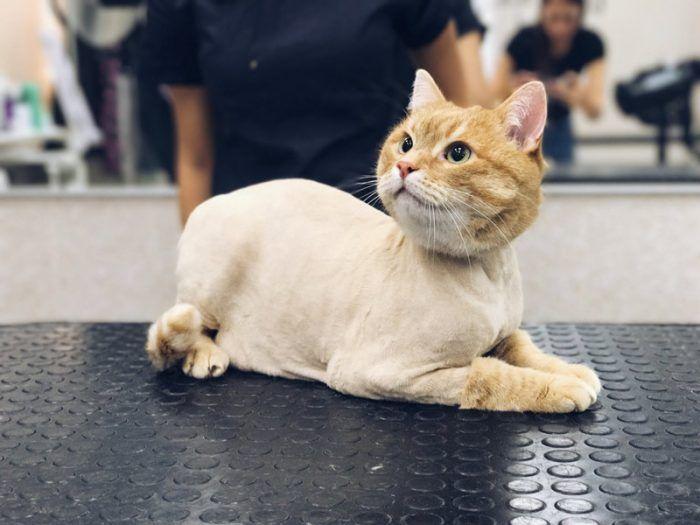 Стриженный кот на выставке