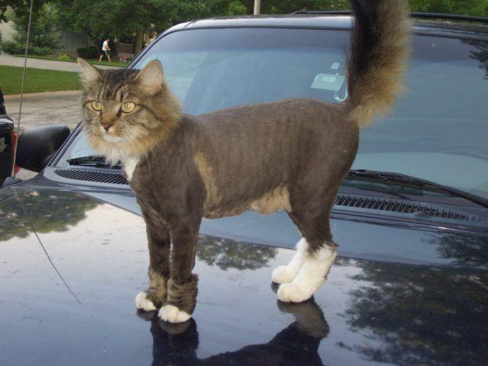 Стриженный кот на машине