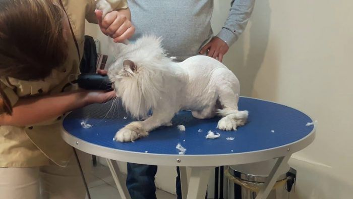 Кошку стригут на столе