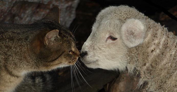 Котик и овечка целуются