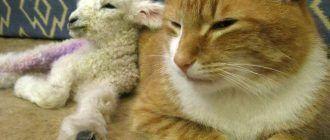 Котик и маленькая овечка