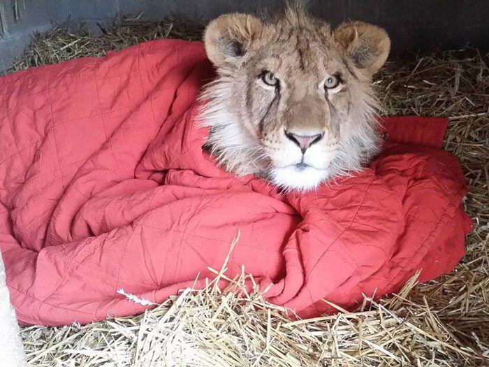 Лев в одеяле