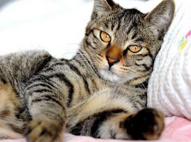 Кошка Ли Хуа