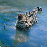 Кошка Маргай в воде