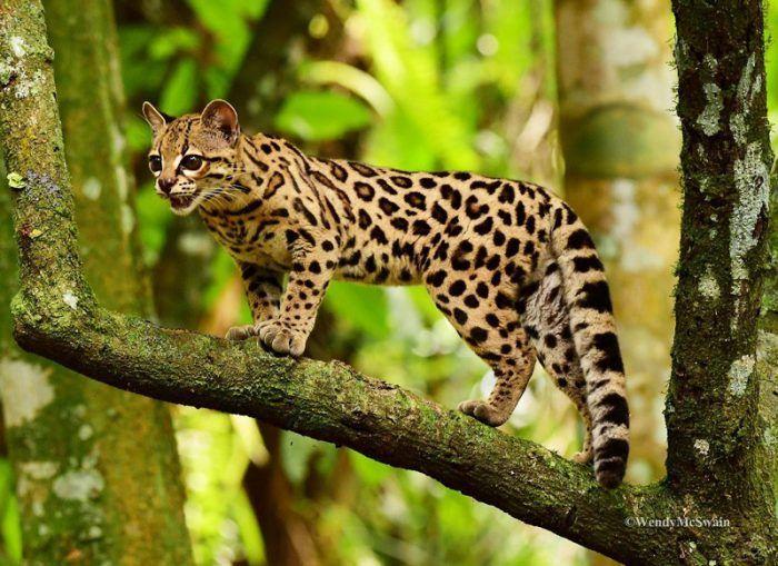 Длиннохвостая кошка на дереве