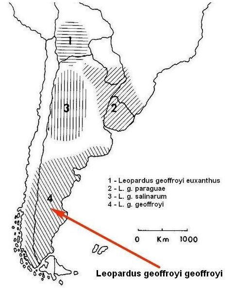 Подвид Leopardus geoffroyi geoffroyi