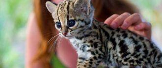 Маленький котик оцелот