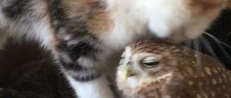 Котик заботится о совенке