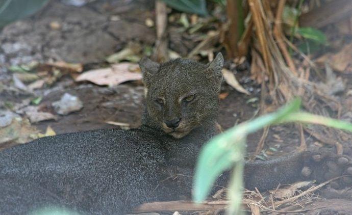 P. y. panamensis смотрит
