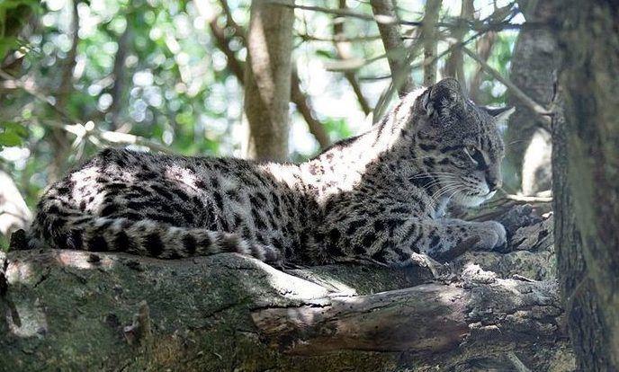 Жоффруа Leopardus geoffroyi paraguae