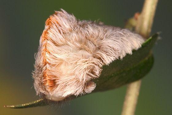 Шерстка на листьях