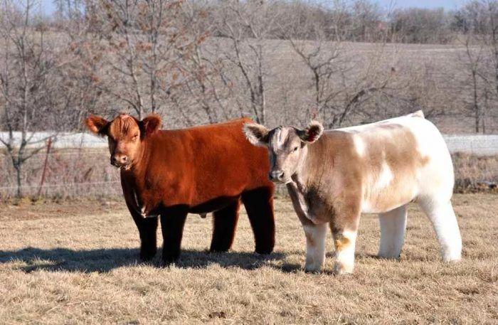 Цвета коров
