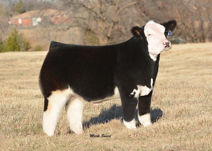 Представитель пушистых коров