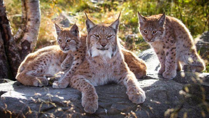Семейство рысей
