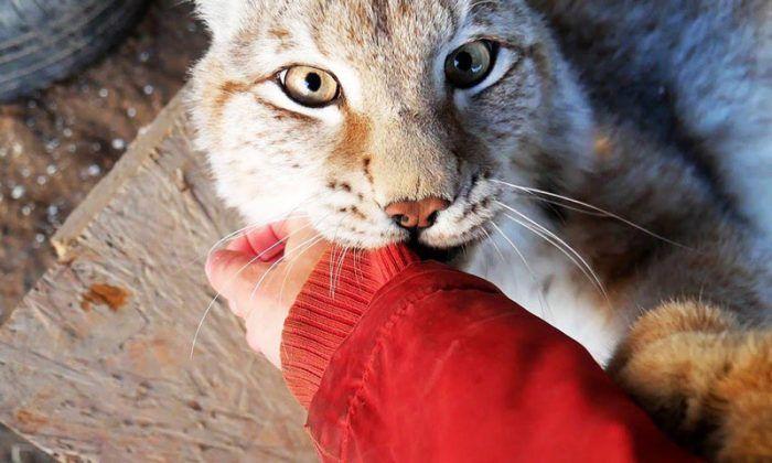 Рысь играет с рукой хозяина