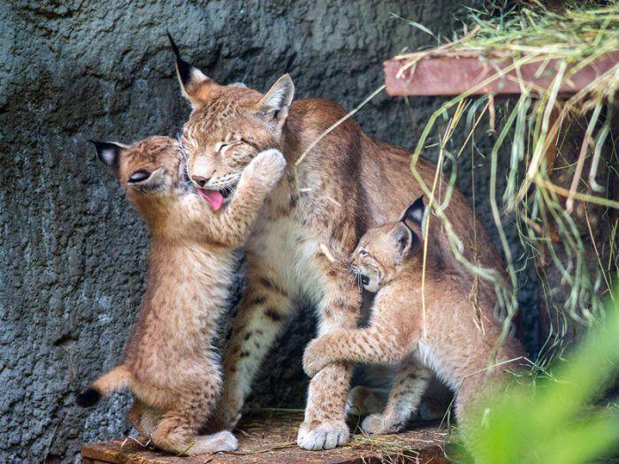 Котята играют с матерью