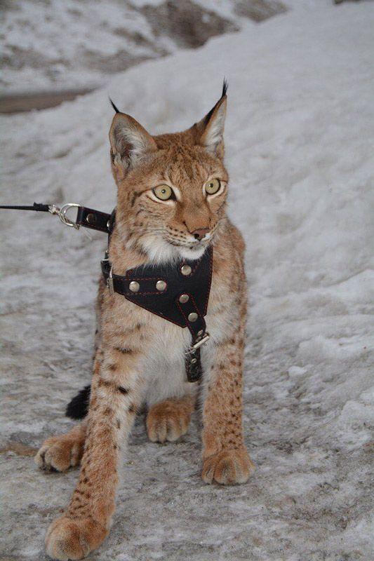Котенок рыси на прогулке на поводке