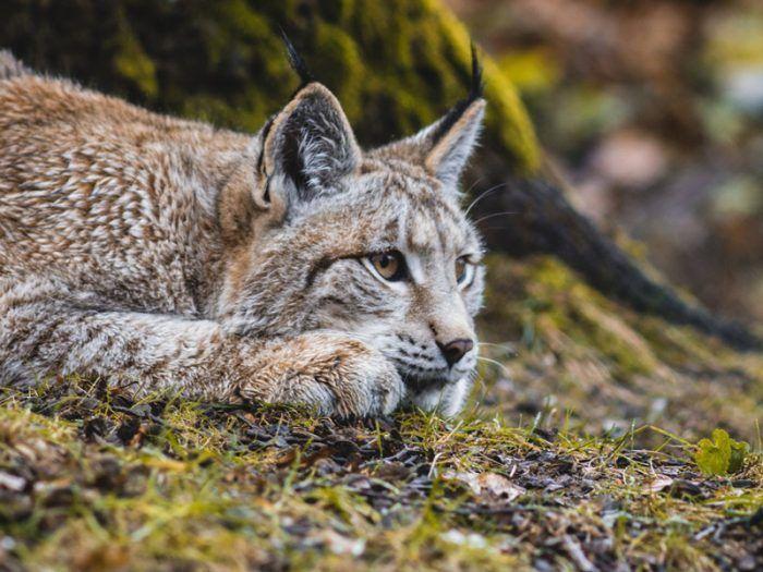 Рысь отдыхает после охоты