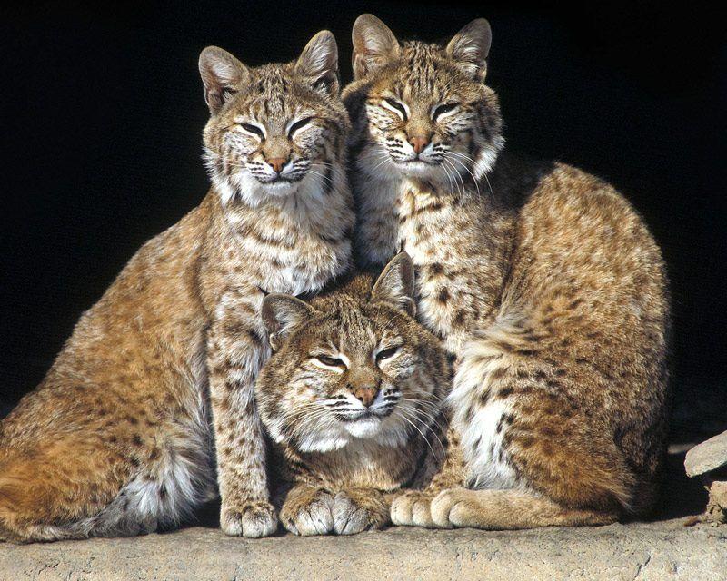 Семья рысей