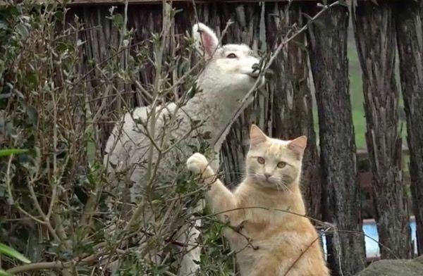 Котик с ягнятами