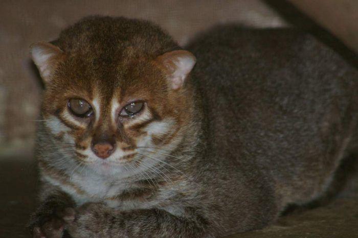 Плоскоголовая кошка