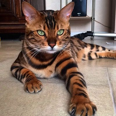 Тигр и леопард в расцветке