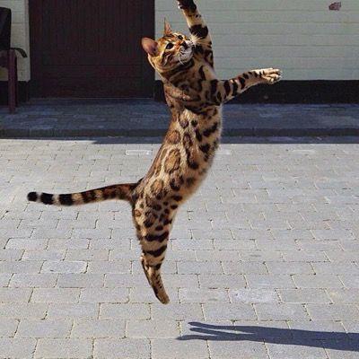 Активный кот