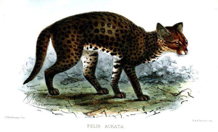 Рисунок Золотой Африканской кошки