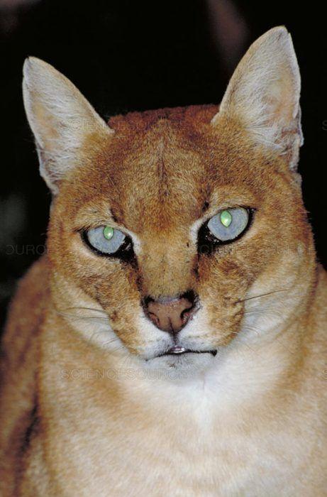 Рыжий окрас Золотой кошки