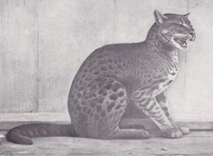 Золотая Африканская кошка