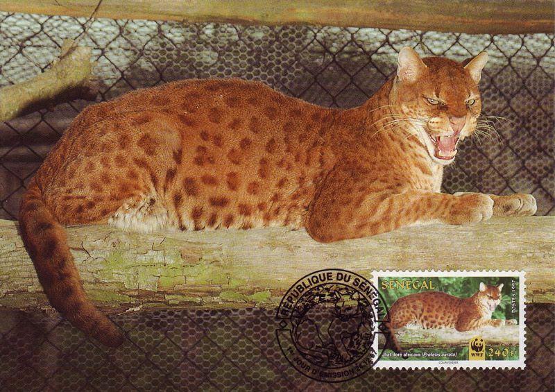 Золотая кошка лежит