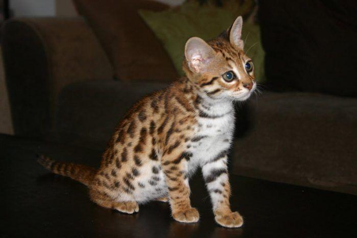 Небольшой котенок АЛК