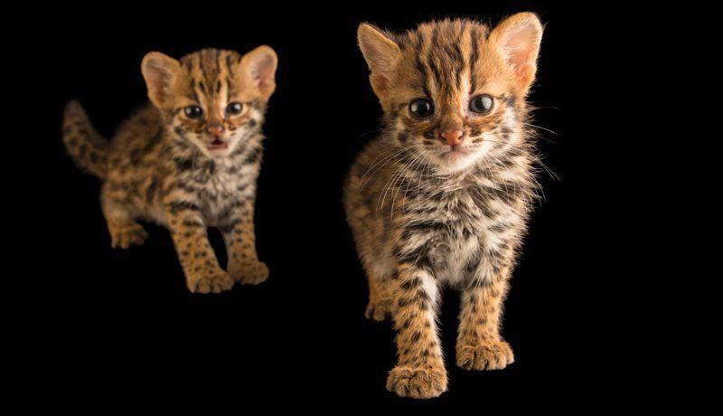 Два котенка АЛК