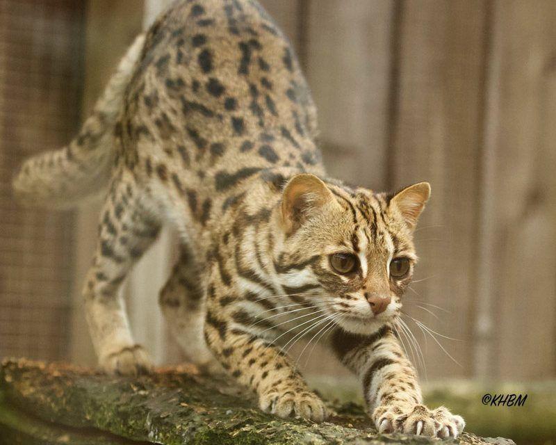 Азиатский леопардовый кот потягивается