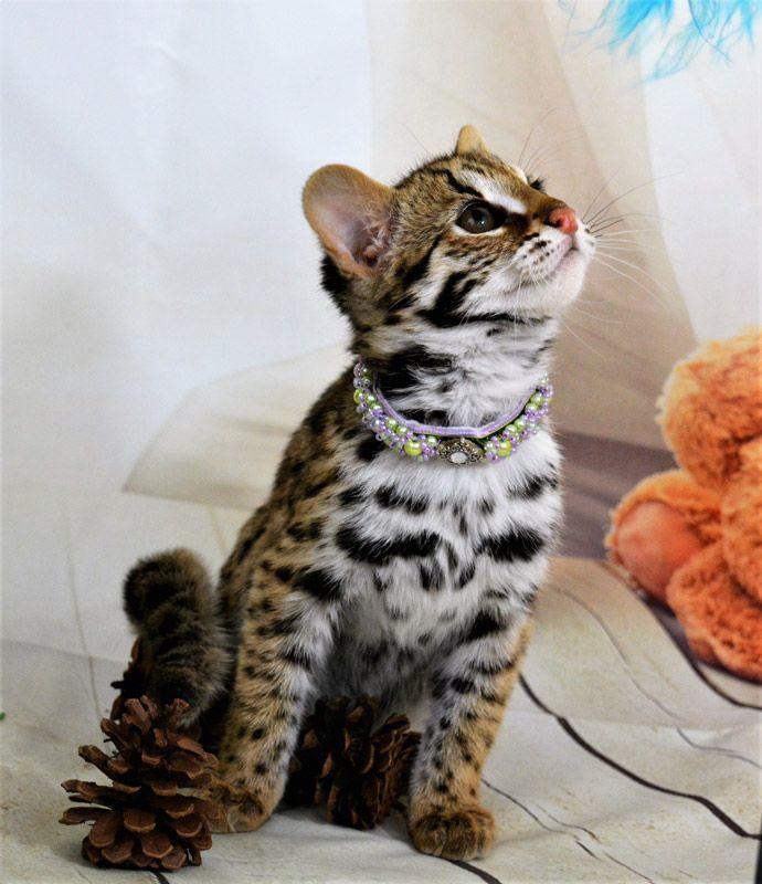 Нарядный Азиатский кот