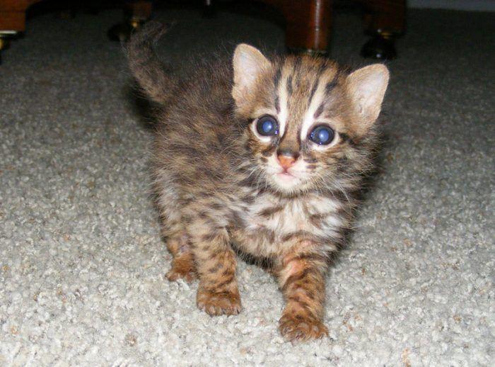 Котенок Азиатского леопардового кота