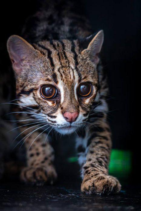 Большие глазки у котенка АЛК