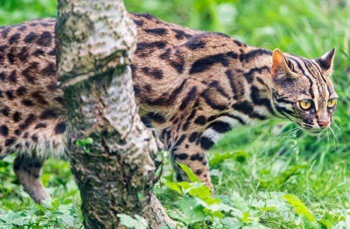 АЛК в джунглях