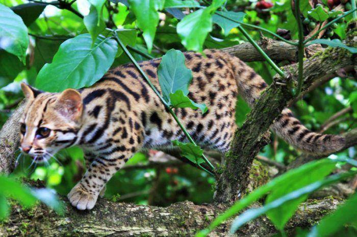 Азиатский кот гуляет среди кустов