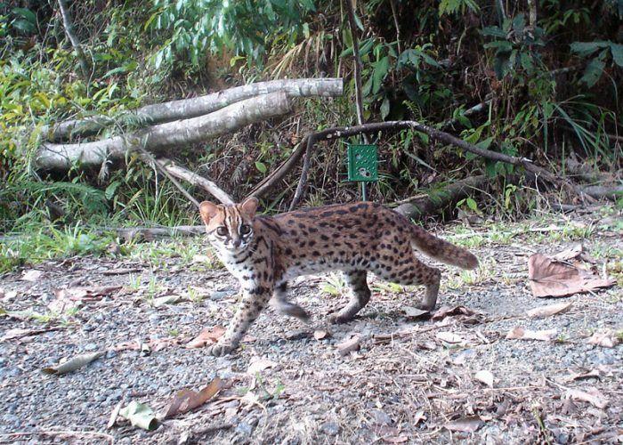 Материковая Леопардовая кошка