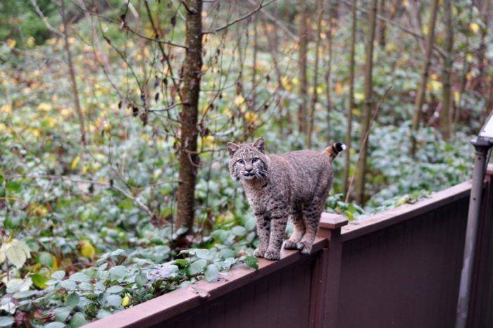 Рысь гуляет по забору