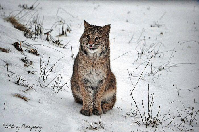 Рысь сидит на снегу