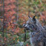 Канадская рысь в осеннем лесу