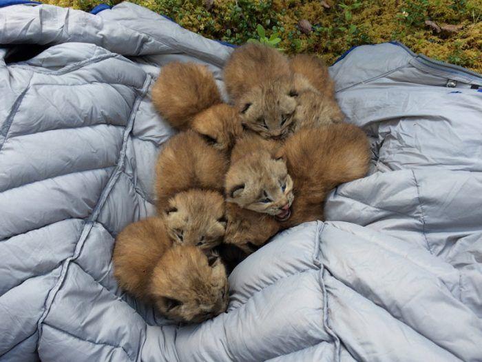 Малыши канадской рыси