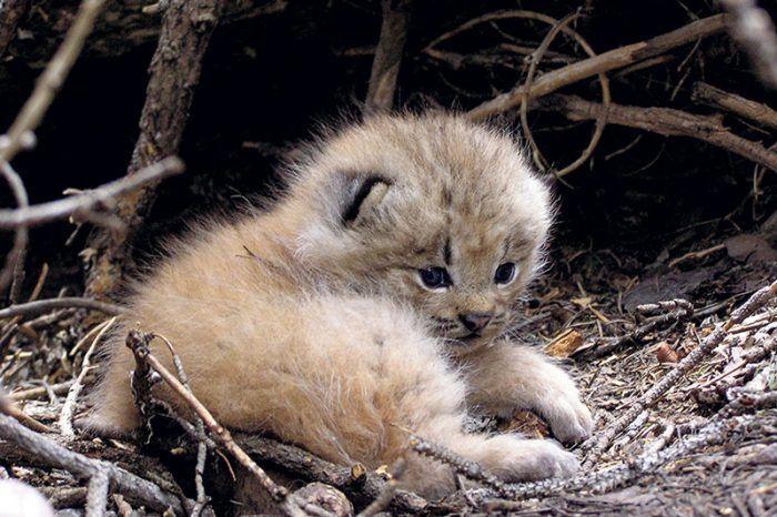 Малыш канадской рыси