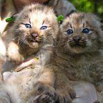 Два котенка канадской рыси