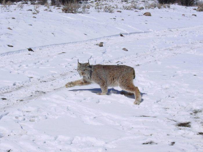 Рысь гуляет по снежному лесу