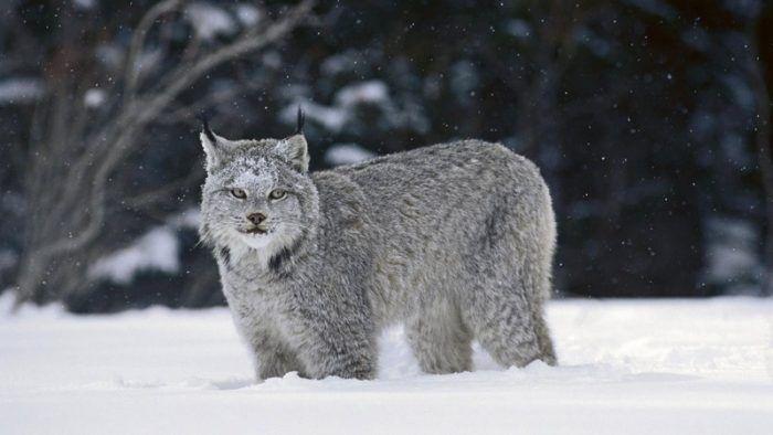 Канадская рысь стоит в снегу