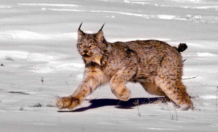 Канадская рысь бегает по снегу